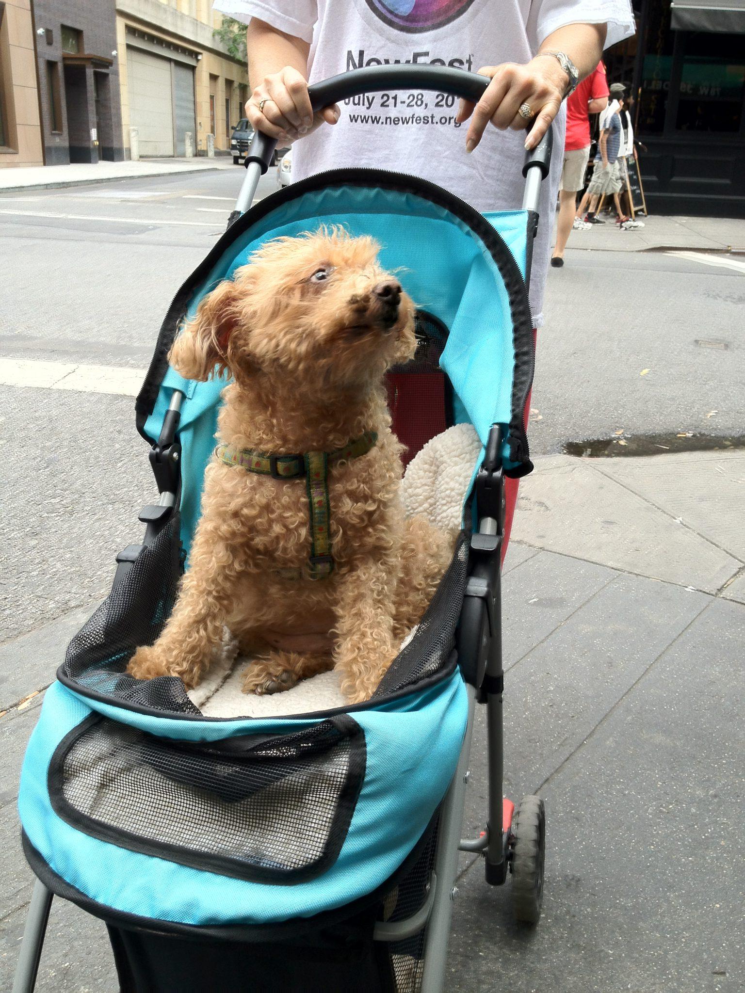 Dog in a stroller
