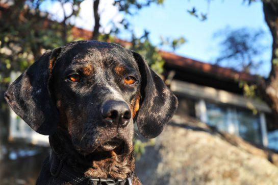 Louie. A special Catahoula Dog.
